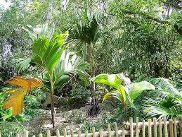 verschaffeltia splendida palmpedia palm grower u0027s guide