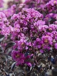 crape myrtle flowering trees black diamond u2013 plant me green