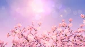 cherry blossom tree photo free