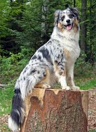 skiing with australian shepherd in search of a dog non ski gabber newschoolers com
