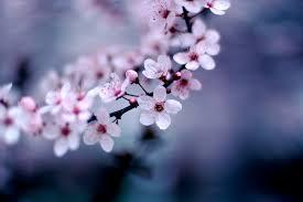 cherry blossom pics davis cherry blossom festival presented by bakuhatsu taiko dan