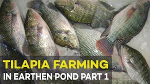 tilapia farming in earthen pond 2017 part 1 pond preparation and