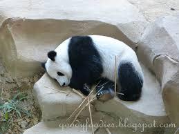 goodyfoodies visiting the pandas at zoo negara malaysia