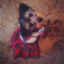 Yorkie Halloween Costumes 80 Costumes Dogs Images Animal Costumes
