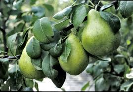 a pair s needed if you re growing pear trees living omaha