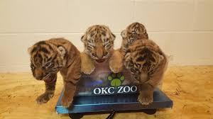 okc zoo introduces tiger live cam