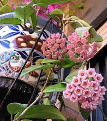How To Take Care Of Flowers In A Vase Hoya Plant How To Care For The Wax Plant