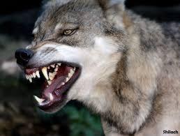 Mad Wolf Meme - 16 best logo ideas images on pinterest wolf tattoos tattoo