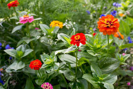 Zinnias Flowers How To Sow Zinnia Seeds Outdoors Gardenersworld Com