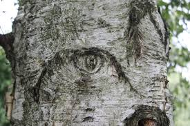 the number zero eye in a birch tree