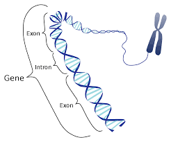 wikijournal of medicine eukaryotic and prokaryotic gene structure