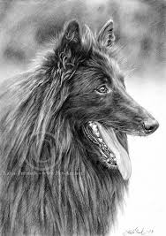 belgian sheepdog drawings 2 new pencil drawings chaz hound dog forums