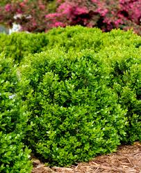 boxwoods make gardens better monrovia