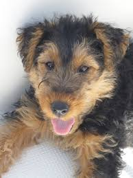 types of dogs welsh terrier puppy this will seriously be the next type of dog