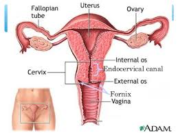 Anatomy Of The Female Reproductive System Pictures Female Reproductive System