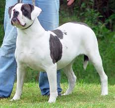 american bulldog x belgian malinois nation x home of the bully enthusiast great dane and st
