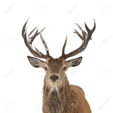 deer head red deer head and antler portrait isolated stock photo picture and