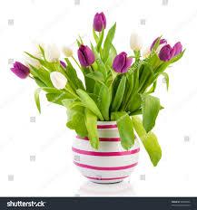 Striped Vase White Purple Tulips Striped Vase Stock Photo 95648026 Shutterstock