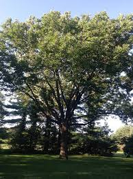 pruning standards bartlett tree experts tree topics