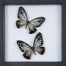 framed butterflies double glass home decor butterfly collection
