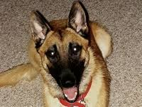 belgian shepherd dog rescue arizona belgian malinois rescue u2015 adoptions u2015 rescueme org