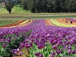 desktop wallpapers flowers backgrounds a big garden of tulips