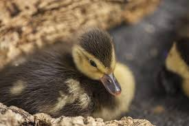 Lights At Lincoln Park Zoo by 3 Critically Endangered U0027diving Duck U0027 Chicks Hatch At Lincoln Park