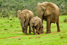 elephant family walking towards a water stock photo picture