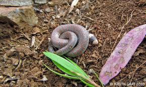 jarowair our patch australian coral snake
