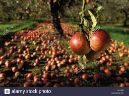 waste ripe apples charles ross left to rot on the trees and ground