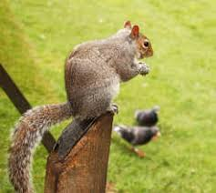 How To Hunt Squirrels In Your Backyard by Does The Law Allow You To Kill Squirrels Pest Control Products