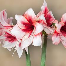 amaryllis flower amaryllis temptation bulb large white amaryllis with ruby heart