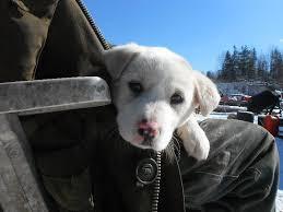 Seeking Companion Companion Puppies Seeking Companions Dogs