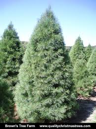 brown christmas tree large wholesale christmas trees