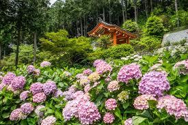 Flower Garden Chairs Mimuroto Ji Temple Kyoto Japan Kyoto Japan Temple Hydrangea Flower