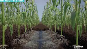 irrigated corn subsurface drip irrigation for corn youtube