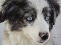 3 month australian shepherd miniature australian shepherd dog breed information and pictures