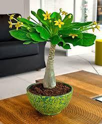 Buy House Plants Buy House Plants Now Hawaiian Palm Bakker Com