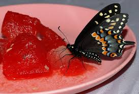 butterfly on watermelon
