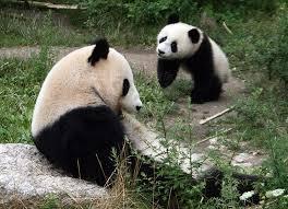 Panda Mascara Meme - dumb panda meme best image of panda 2018