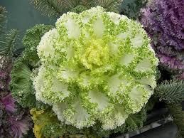 46 best ornamental kale cabbage images on ornamental