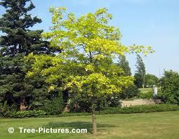 oak tree pin oak tree picture