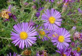 top 20 popular perennial flowers garden pics and tips