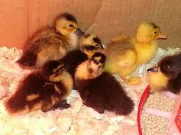 Igloo Dog House Tractor Supply Oh Boy I Now Have Ducks Backyard Chickens