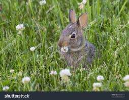 young eastern cottontail sylvilagus floridanus eating stock photo