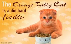 20 interesting facts about the beautiful orange tabby cat