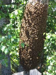 Un essaim regroupé sur un arbre.