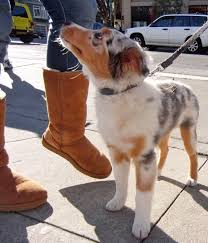 3 month old miniature australian shepherd dog of the day tasman the utterly adorable 3 5 month old