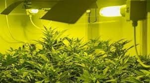 Light Cycle For Weed The Perfect Light Schedules For Autoflowering Cannabis Rqs Blog