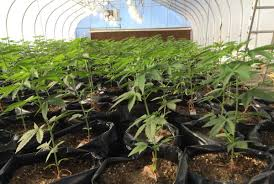 the young entrepreneurs modeling their weed farm like a startup